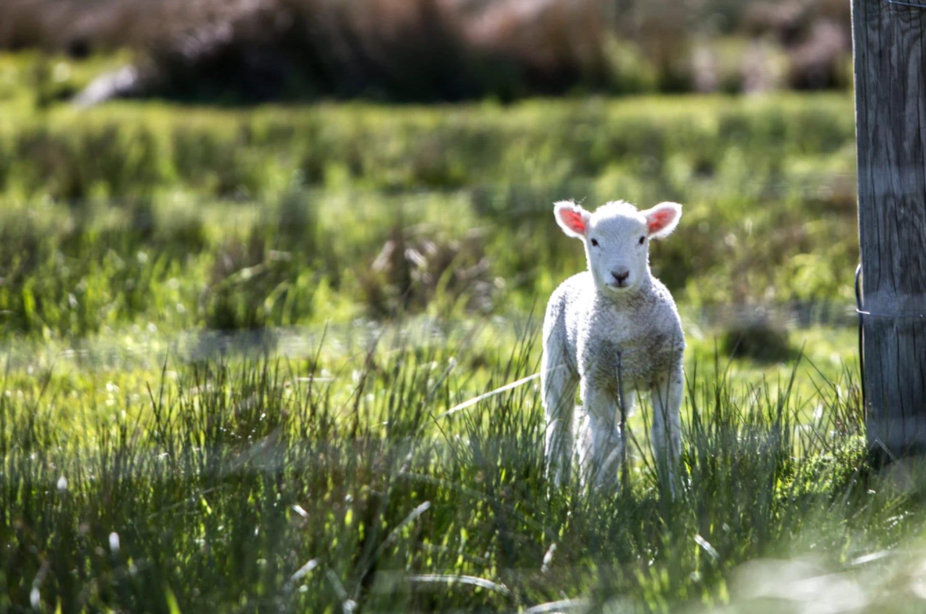 Lamb_in_field