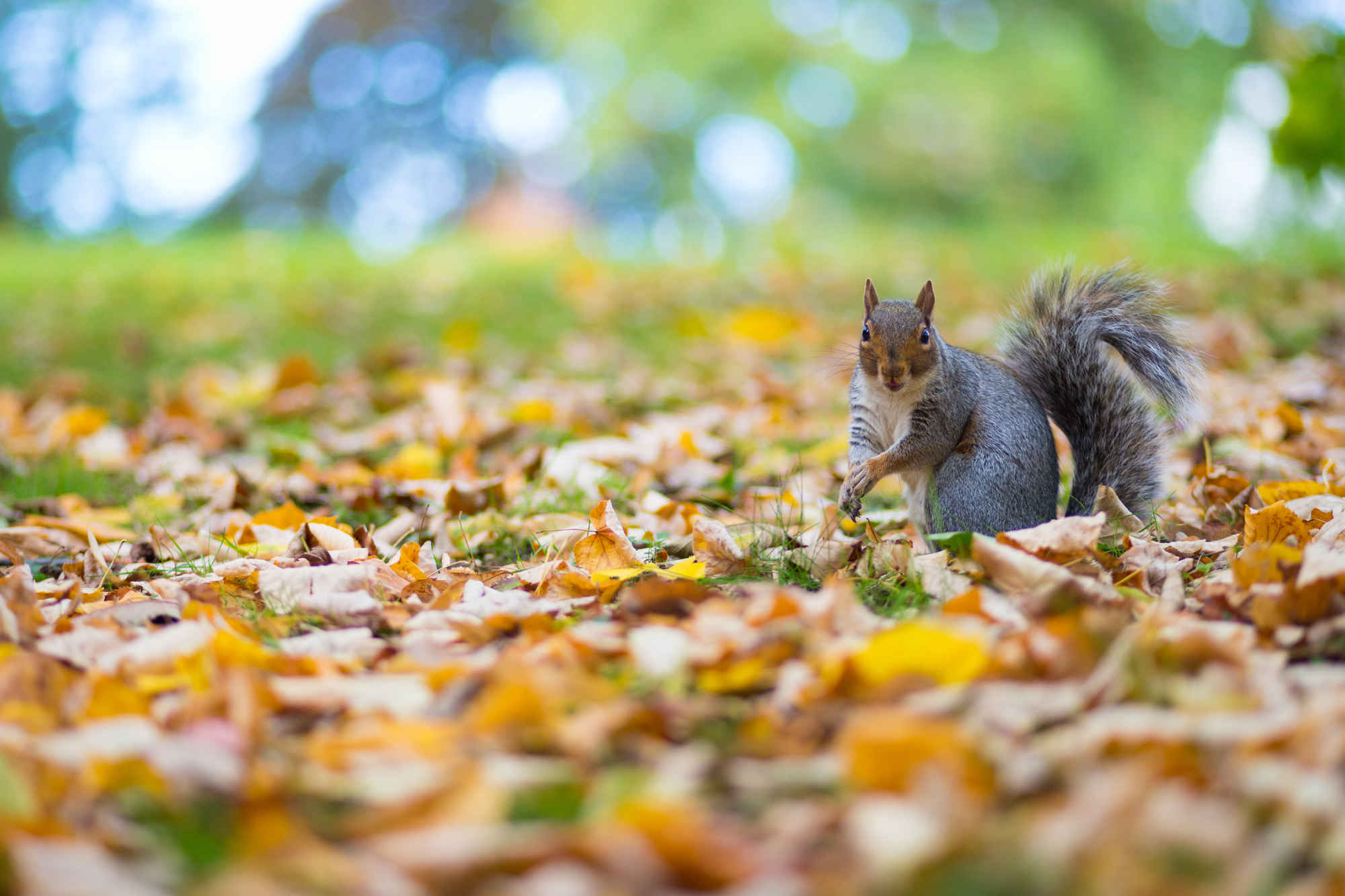 Grey Squirrel in autumn leaves