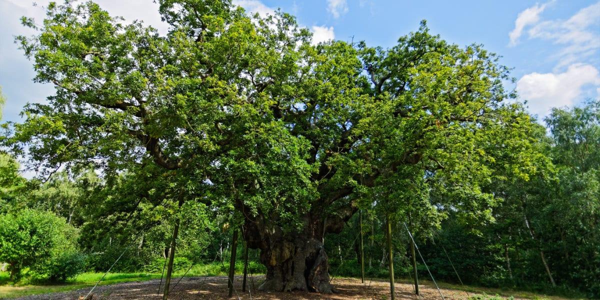 King of Oak Trees