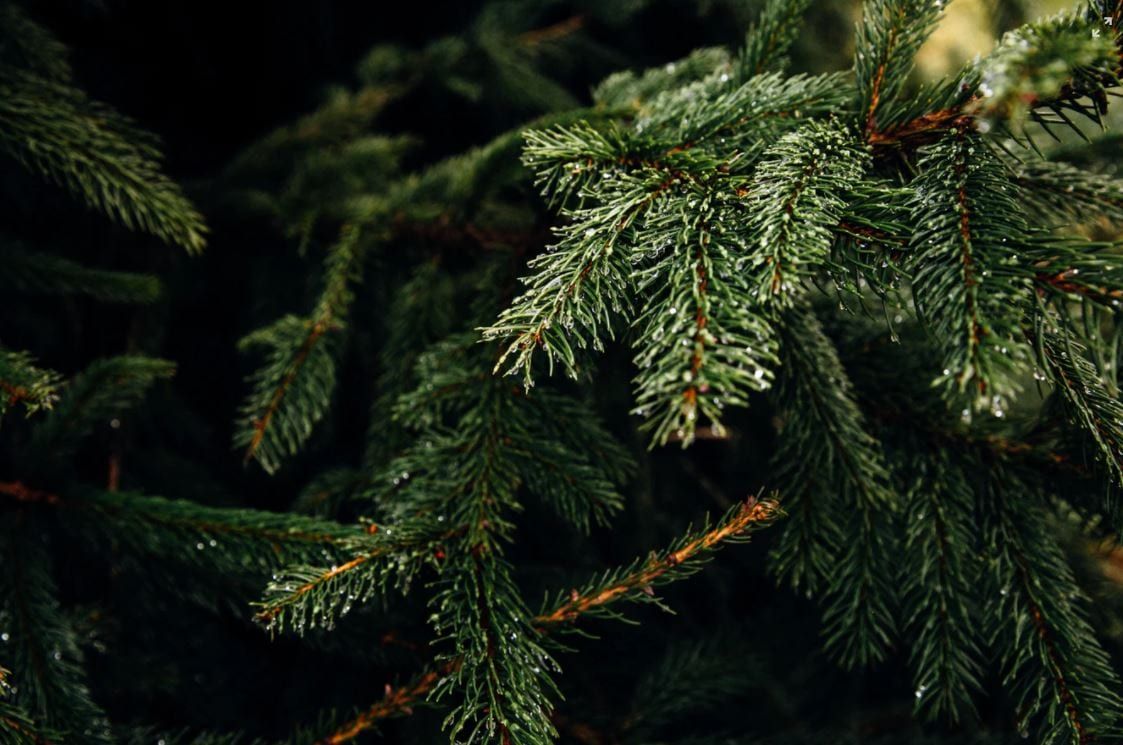 Close up of branches of a fir tree