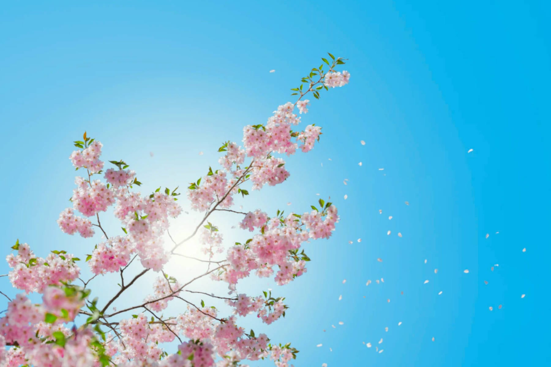 spring_pink_blossoms_and_blue_skies