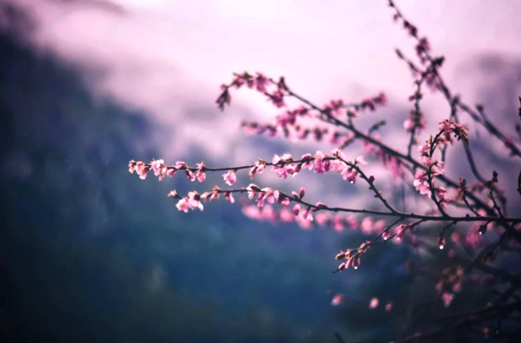Blossom tree in spring