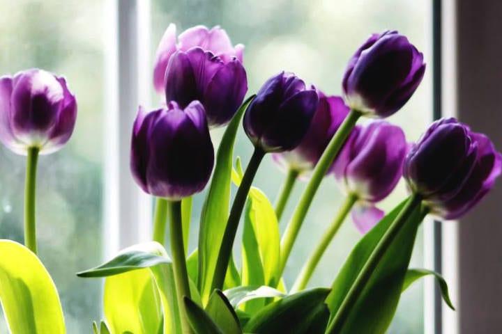 Bunch of tulips in window