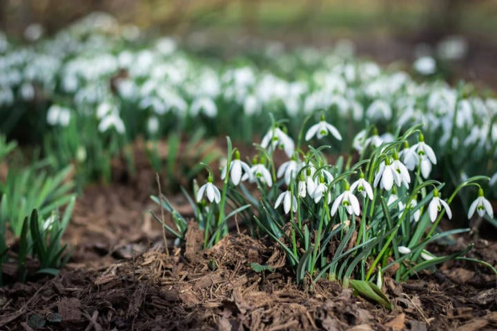 A group of snowdrops in field