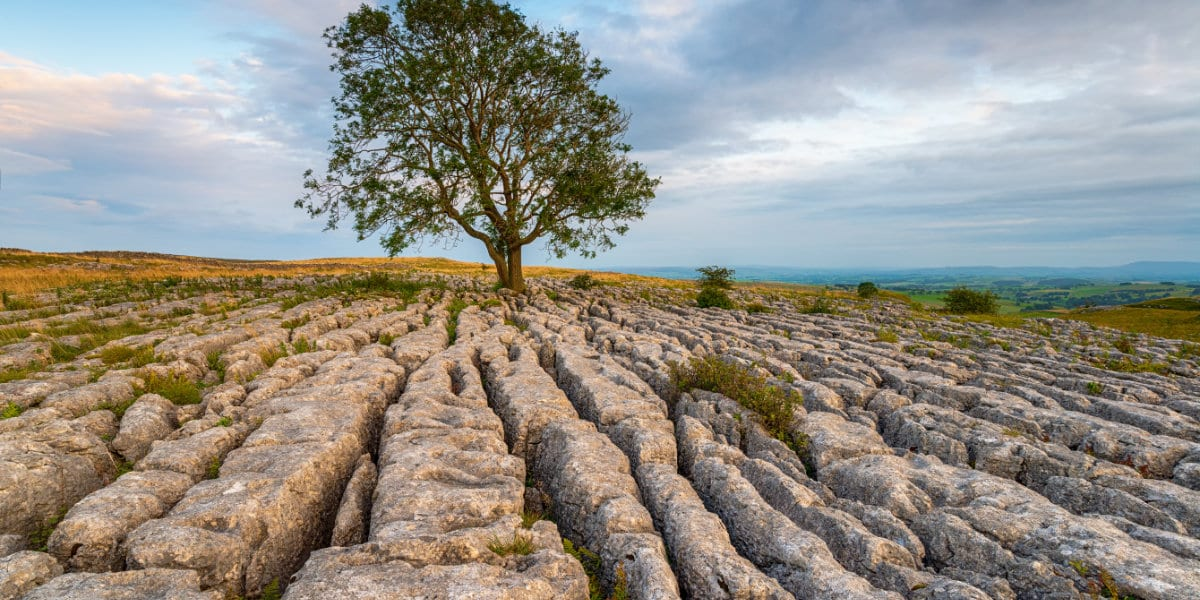 A lone Ash tree growing out of a limestone pavement at Malham