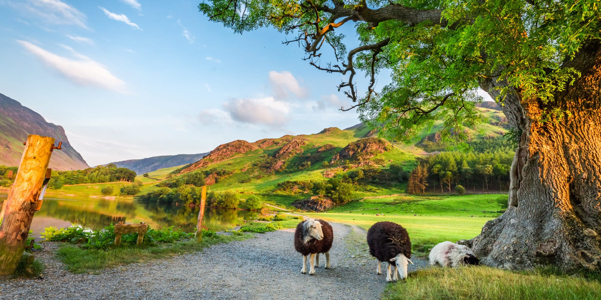 Curious sheeps on pasture in summer, Lake District, England