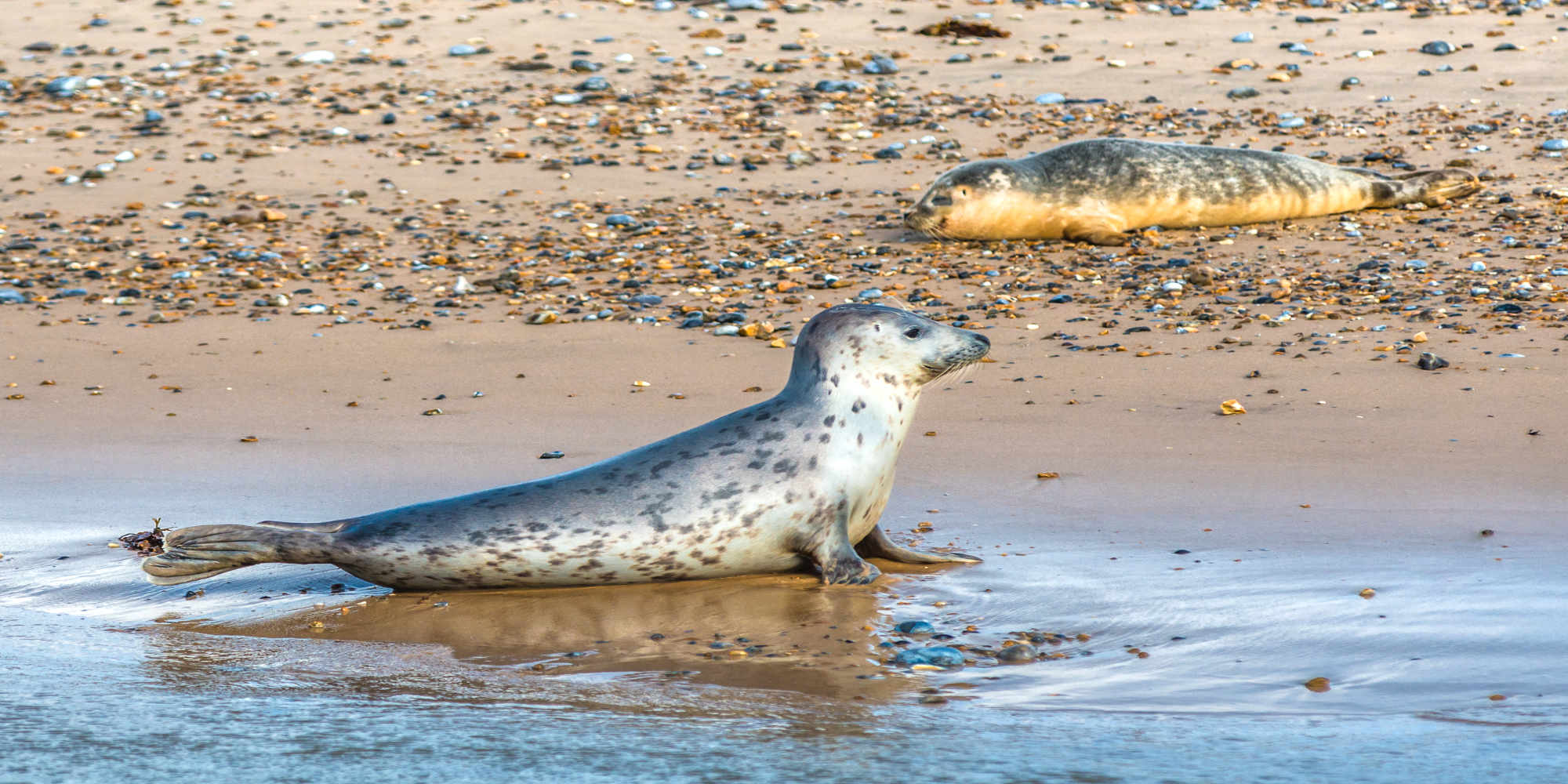 Grey and Common or Harbour Seals