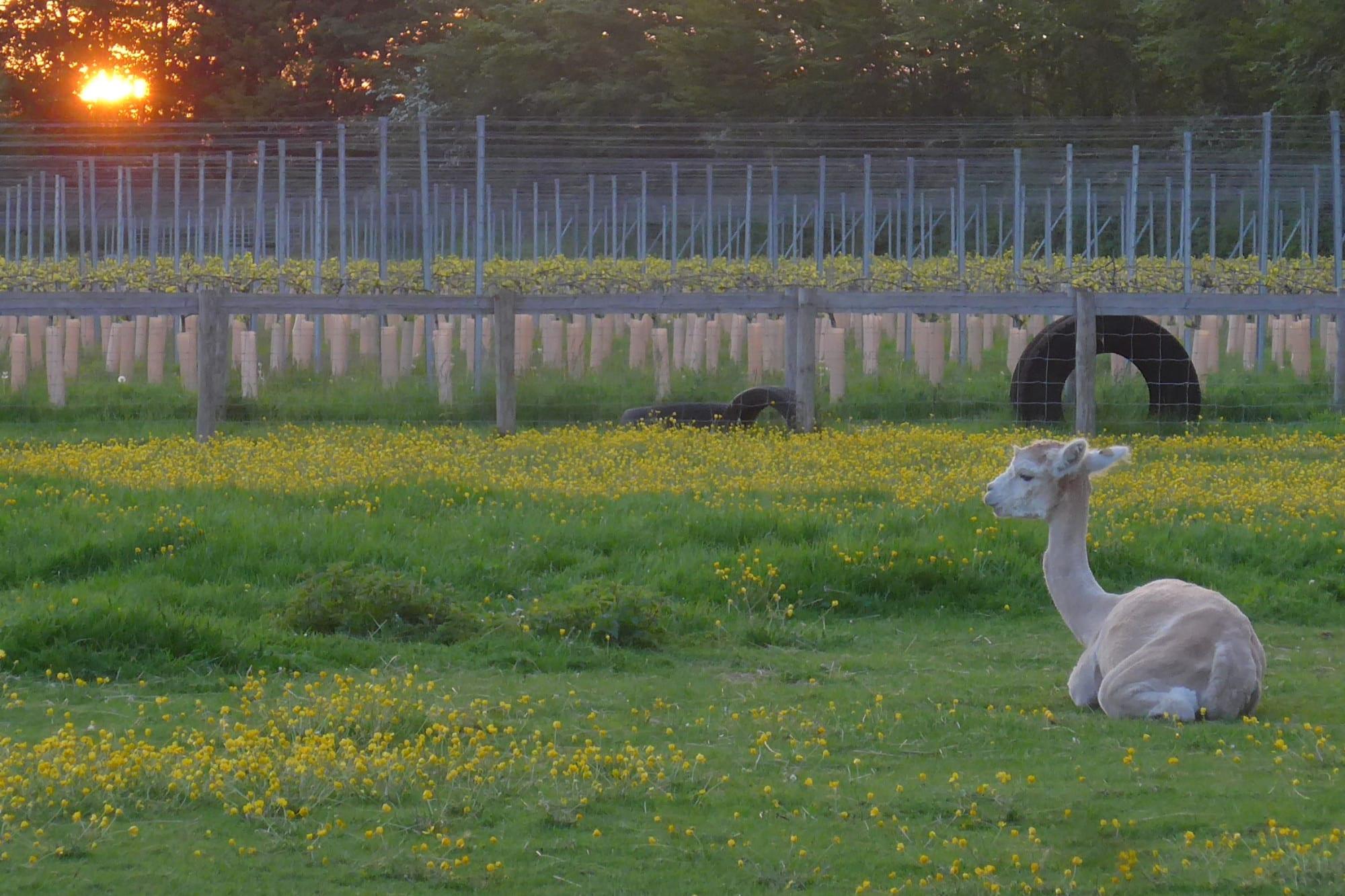 Alpaca in a field at sunset