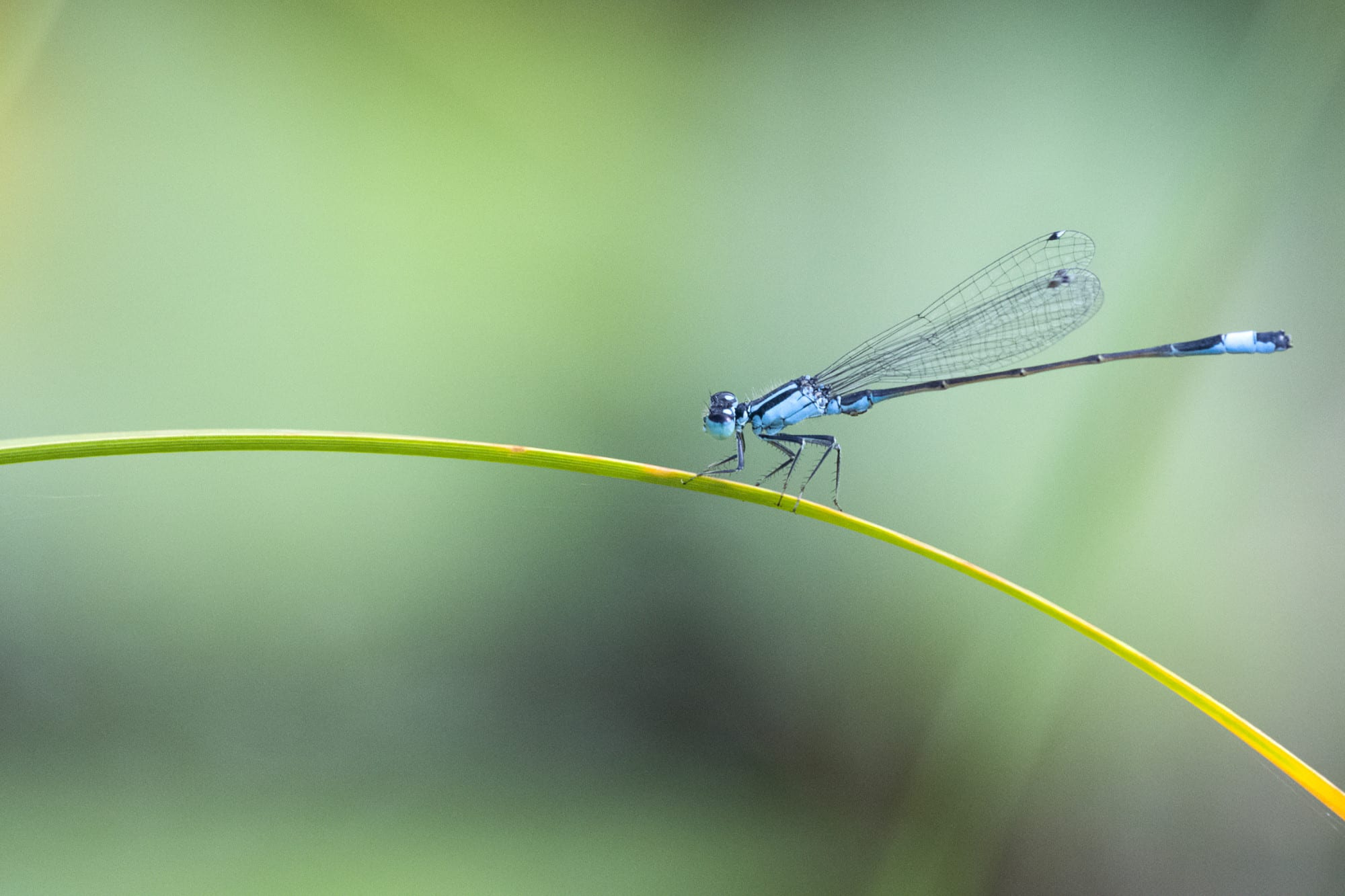 Blue dragonfly on plant