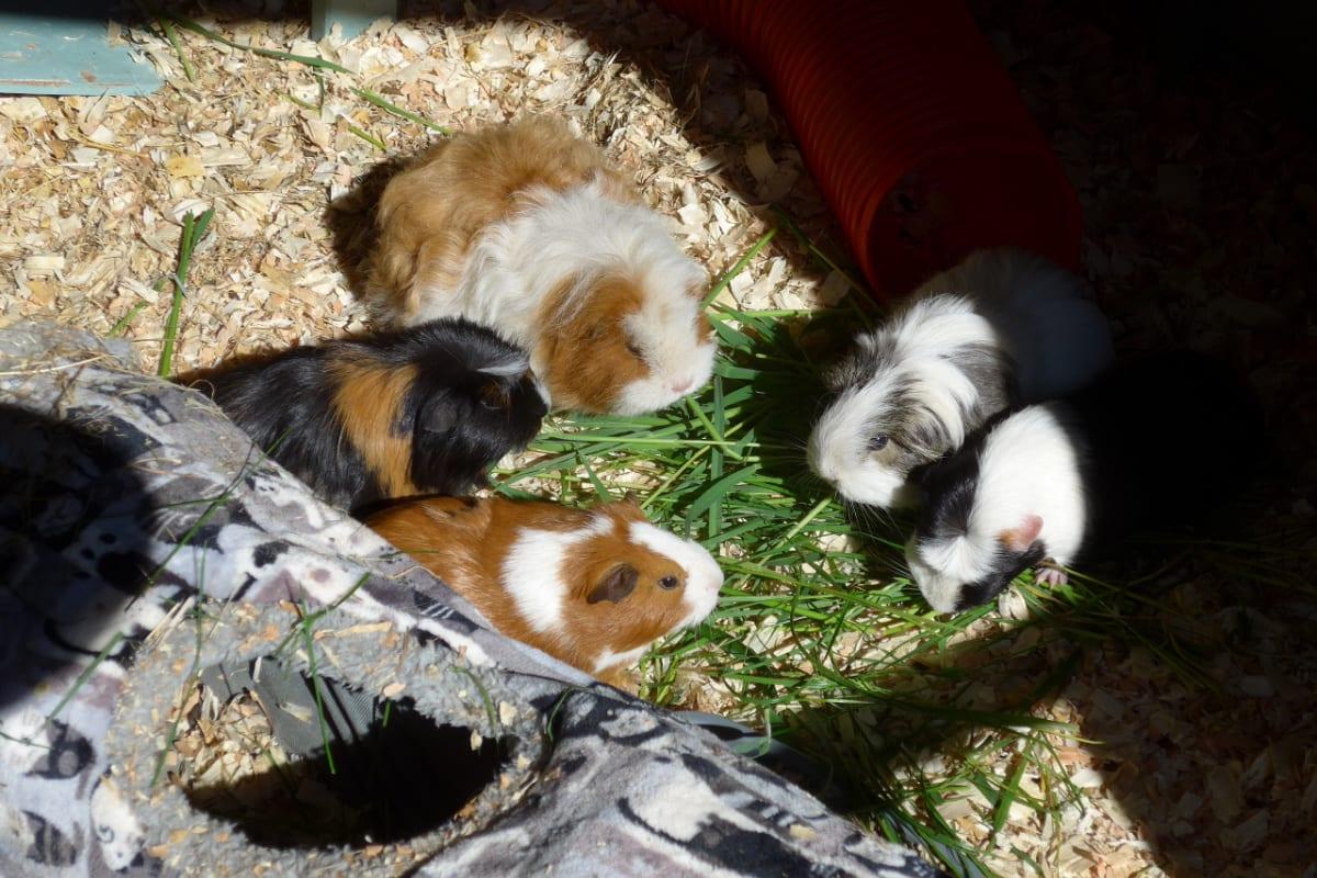 Five guinea pigs on a leaf
