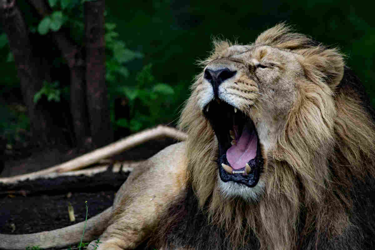 Lion roaring at Chester Zoo