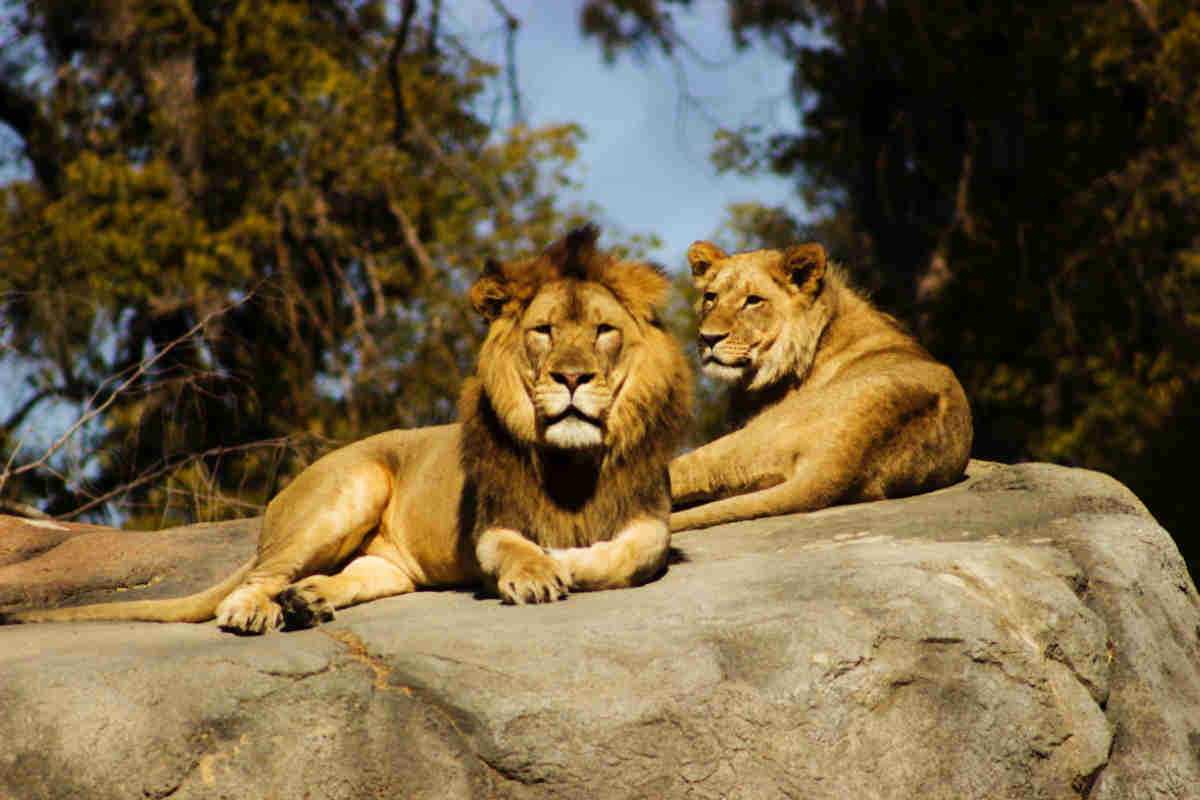 Two lions at a zoo in the UK