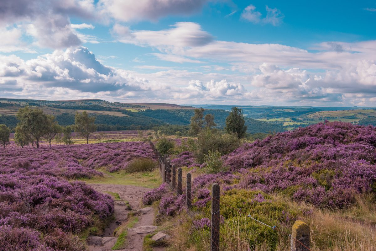Field of heather in the Peak District