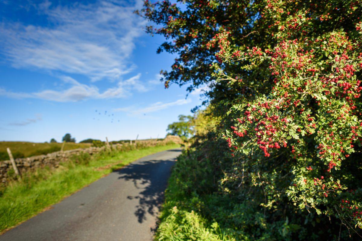 Summer berries in Yorkshire