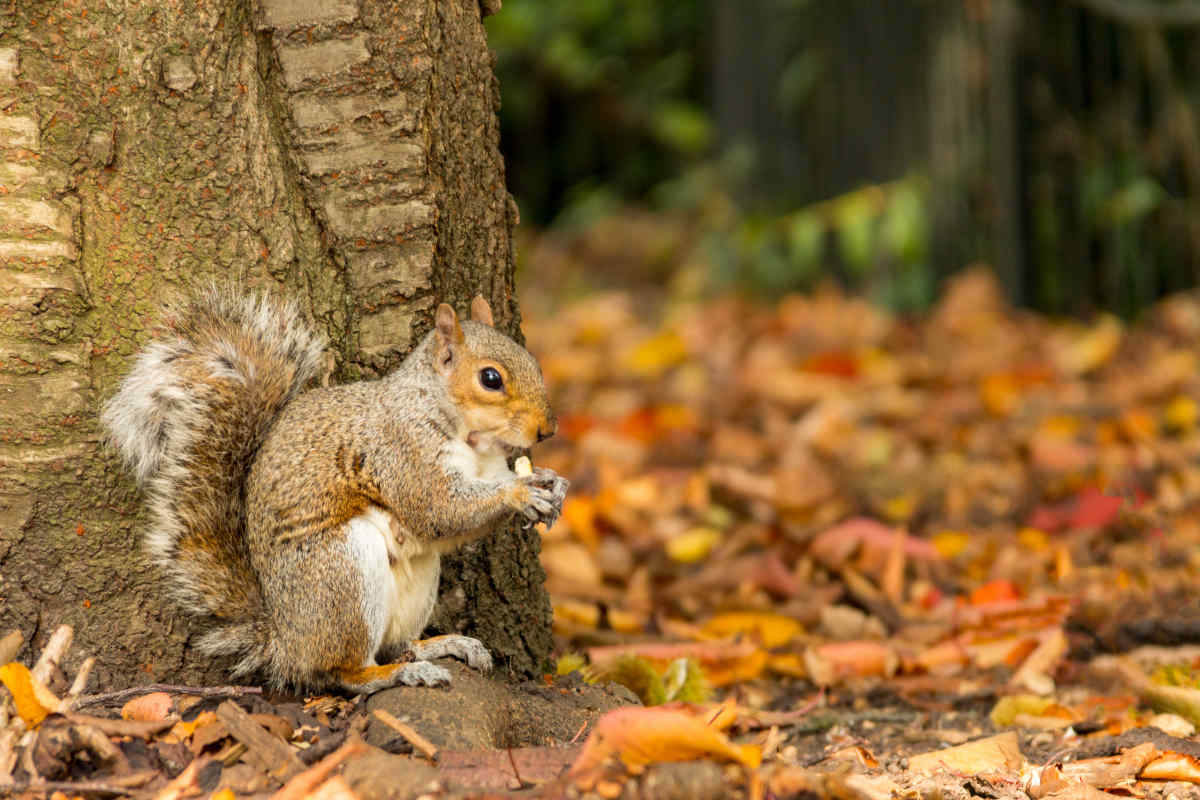 A grey squirrel sits at the base of a tree eating a nut in an autumn forest